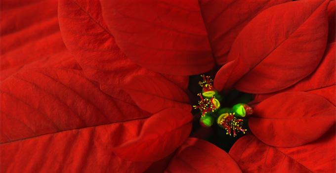 Atatürk Çiçeği-Paunsethia