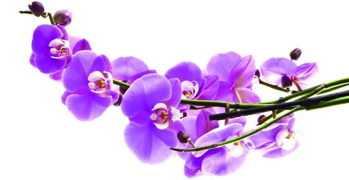 Orkide-Phalaenopsis