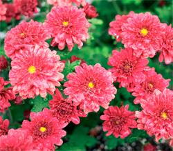 Kasımpatı-Chrysanthemum