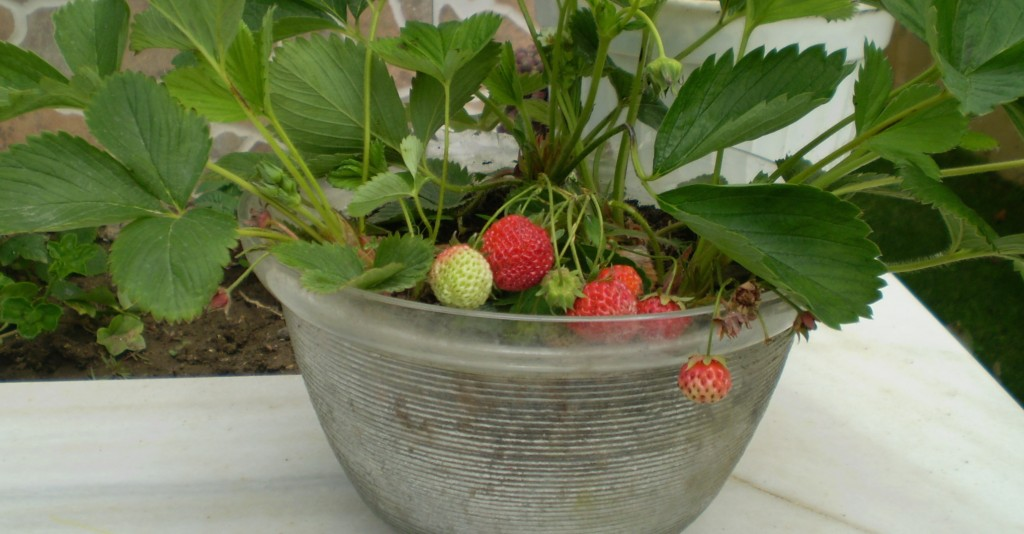 Balkon Serada Çilek Yetiştirmek İsteyenlere BirKaç Altın Öneri
